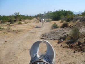 La plaine de Malwa vue entre des oreilles de cheval Marwari